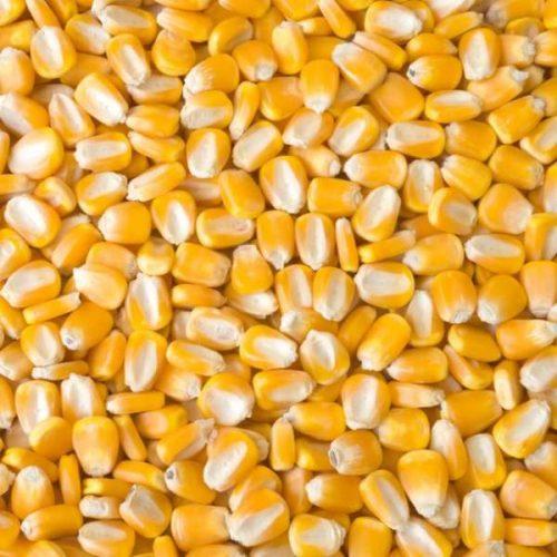Non GMO Yellow Maize